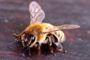 Eine Biene ist gelandet.