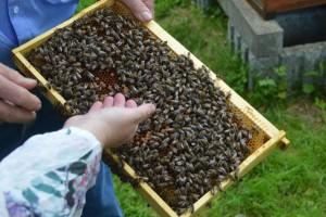 """Friedliche Tiere: Bienen """"streicheln""""."""