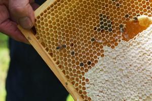 Frischer Honig, direkt aus der Wabe.